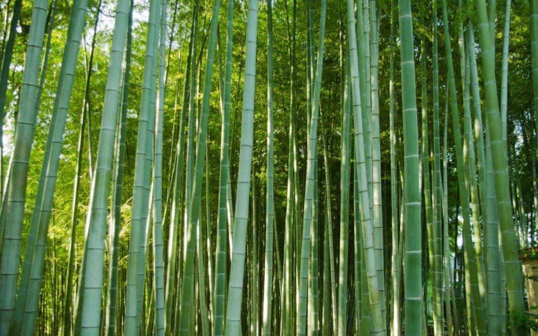 Bamboo Leadership: The Importance of Vulnerability in Teams